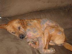 Основные симптомы укуса клеща у собаки