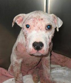 Симптомы и лечение подкожного клеща у собаки