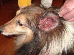 Методы лечения ушного клеща у собак
