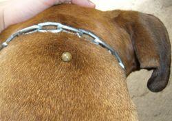 Клещ на шее у собаки