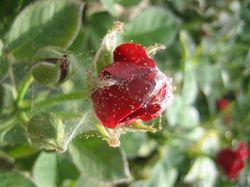 Паутинный клещ на садовой розе