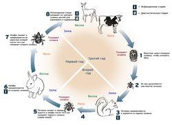 Жизненный цикл паразита